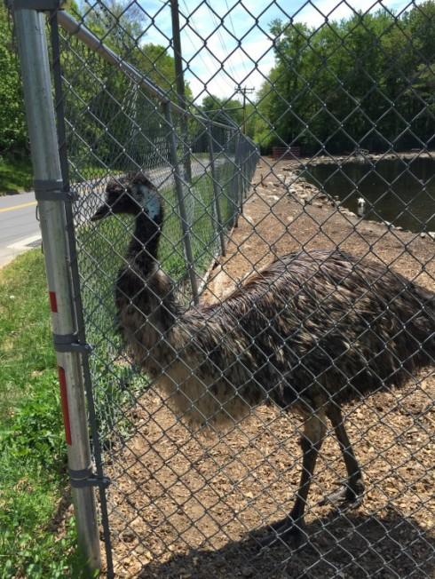 Roadside, Western Connecticut Emu